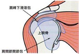 肩をなめらかに動かすための「滑液包」など何層にも重なっています